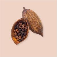 Cacaoté